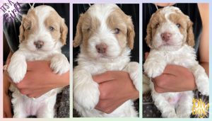 Juniper and Dalton Puppies (Born April 9th, 2021)
