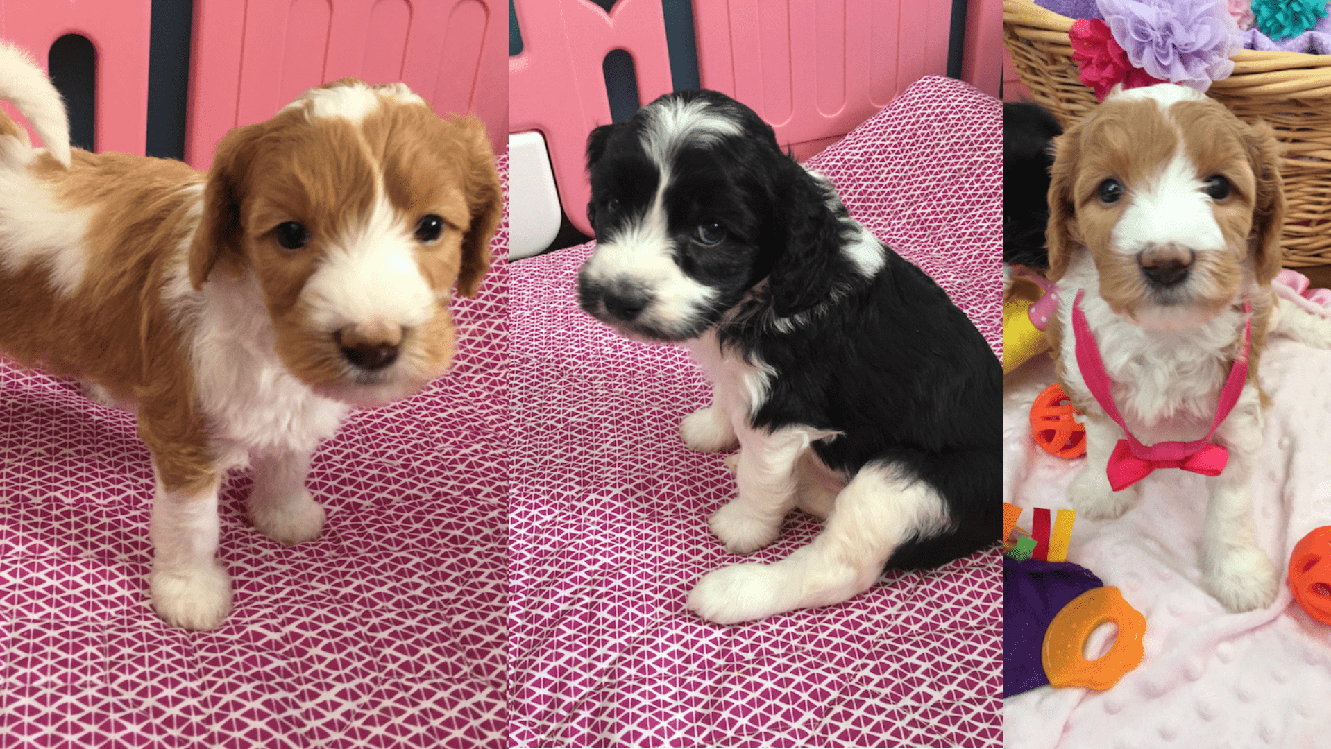 Vito and Brynnley's Puppies (Born Feb 7th)