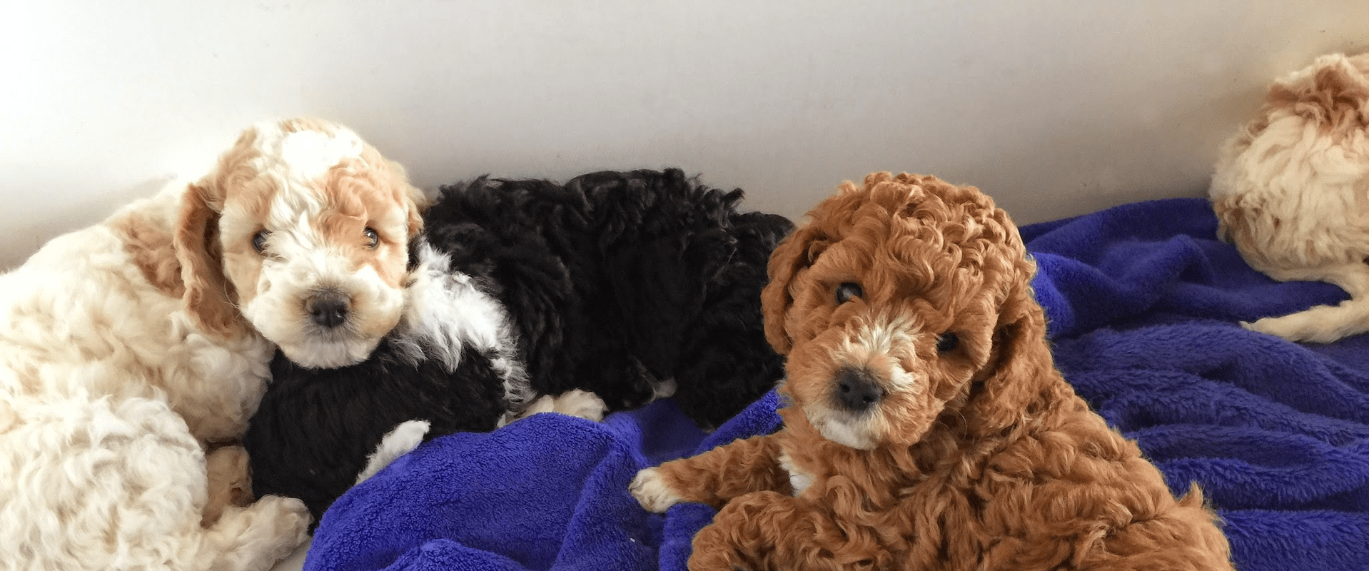 Types of Labradoodles