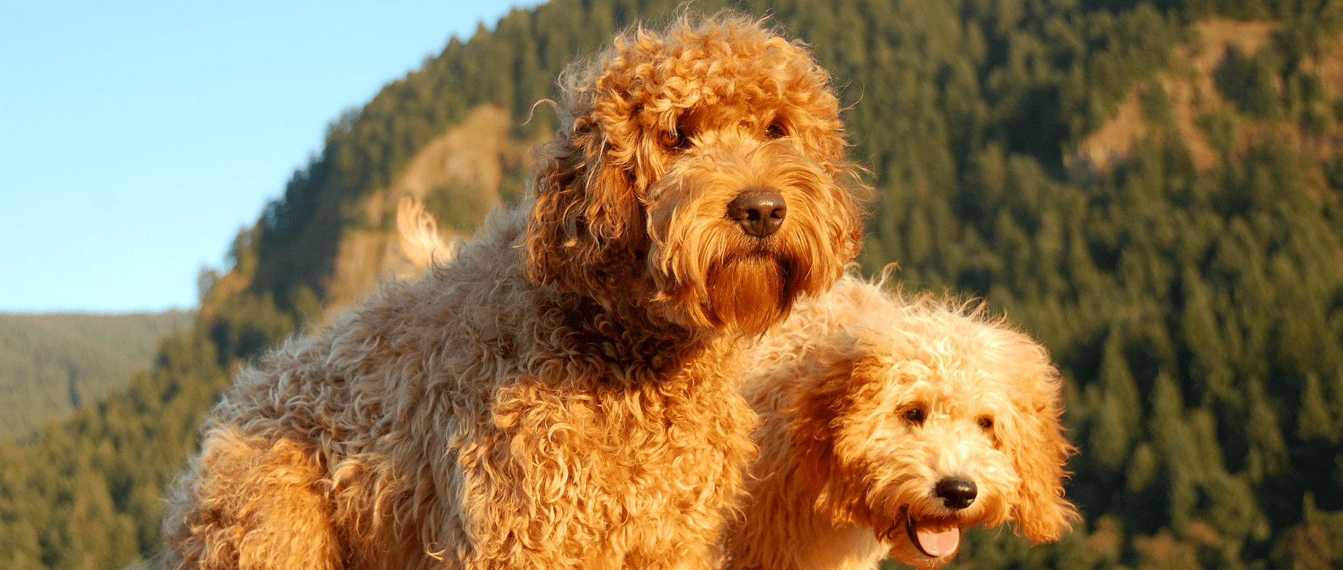 Breeding Quality Labradoodles for Sale