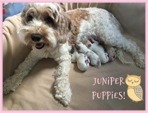 Juniper and Dalton's Puppies (Born Sept. 19th)