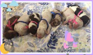 Paisley and Reuben Puppies (Born May 23rd)
