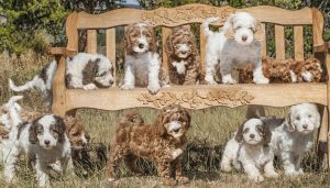 More gorgeous Puppies due to arrive Winter 2021~