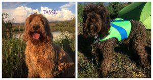 Tassie and Gus Puppies (Coming November)