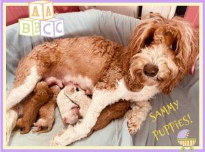 Puppies Born Samantha Marigold and Barley(Born Jan. 23rd, 2021)