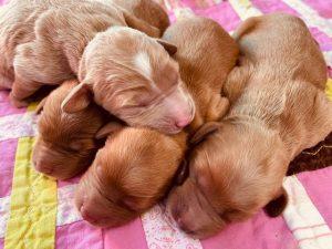 Puppies Born Helena and Tinley(Born Jan. 29th, 2021)