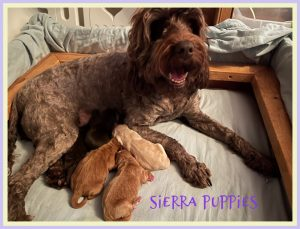 New Puppies Sierra and Evans (Born January 20, 2021)
